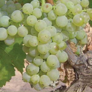 Vermentino Type of Wine: Medium-bodied white with moderate acidity and low tannins.